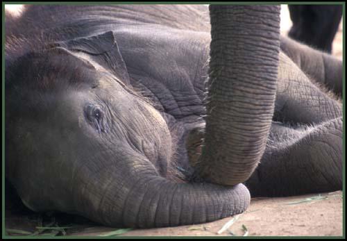 L'Elephant—Thailand's Gentle Giant