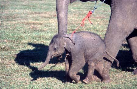 Elephant Roundup in Surin, Thailand